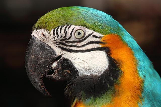 papoušek canindé