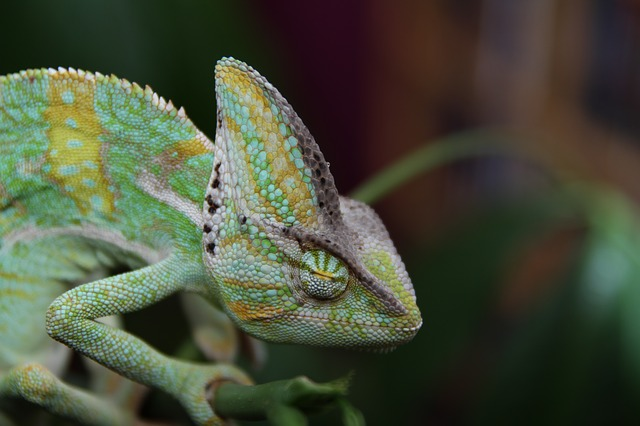 spací chameleon